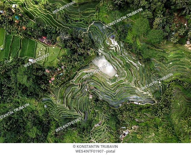 Indonesia, Bali, Ubud, Tegalalang, Aerial view of rice fields, terraced fields