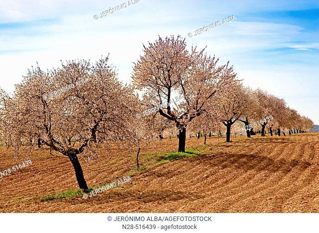 Almond trees. Murcia province. Spain