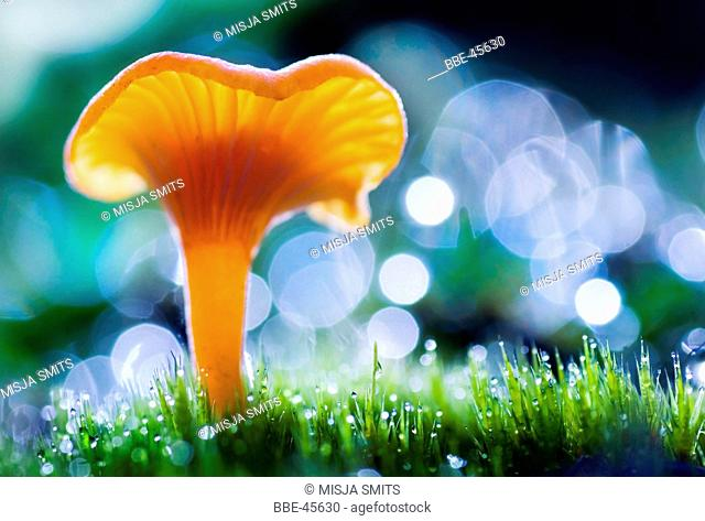 Macro side view of Vermilion waxcap (Hygrocybe miniata)