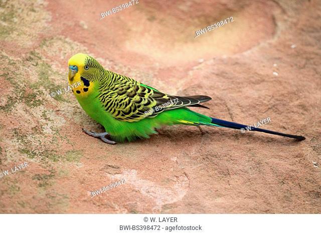 budgerigar, budgie, parakeet (Melopsittacus undulatus), sits on a stone, Australia