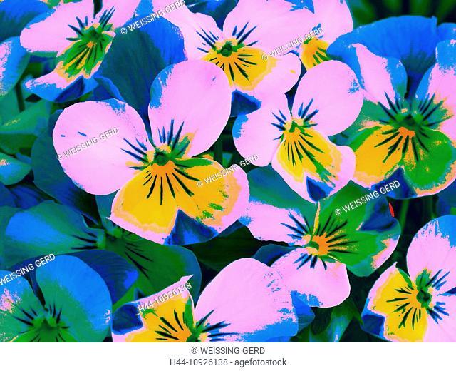 Flowers, plants, violet, horn-rimmed violet, viola, blossoms, flourish, colourful, alienated