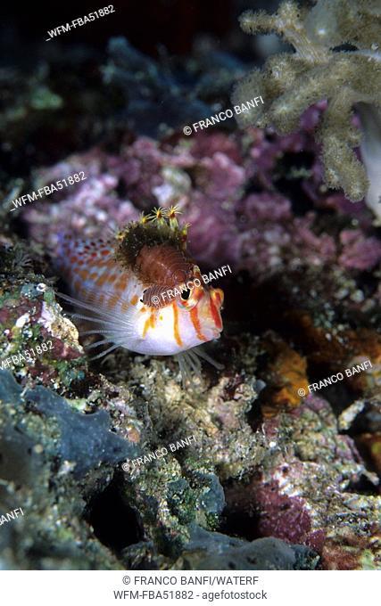 Isopod Parasite on Coral Hawkfish, Nerocila sp., Cirrhitichthys falco, Komodo National Park, Lesser Sunda Islands, Indo-Pacific, Indonesia