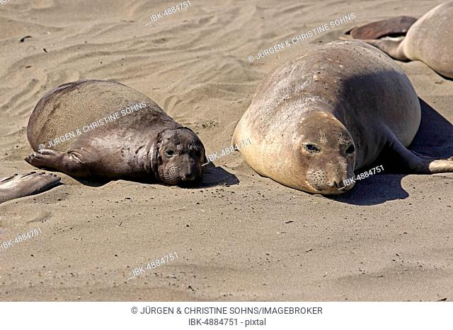 Northern Elephant Seals (Mirounga angustirostris), dam yawning with young resting in the sand, Piedras Blancas Rookery, San Simeon, San Luis Obispo County