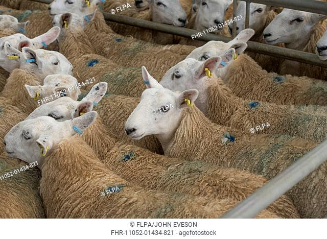 Domestic Sheep, White Welsh Mule ewes, in pen at livestock market, Welshpool Livestock Market, Welshpool, Powys, Wales, September