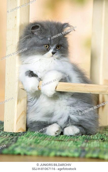 Persian Cat. Kitten sitting under a chair. Germany