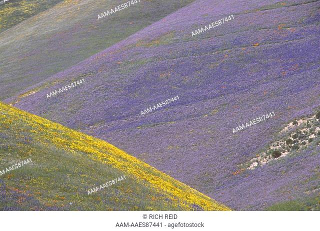 Impressionistic wildflower colors; California Poppy, Lupine & Goldfield Gorman Post Road, Tehachapi Mountains, California