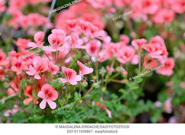 Pink bicolor geraniums in hotchpotch