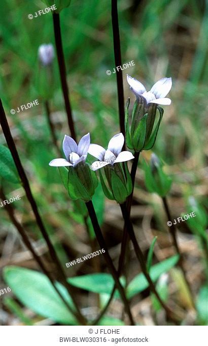 Danes Gentian Gentiana tenella, blooming, Austria, Nockberge