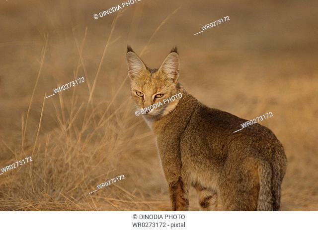 Jungle cat Felis chaus looking angry, Ranthambore National Park , Rajasthan , India