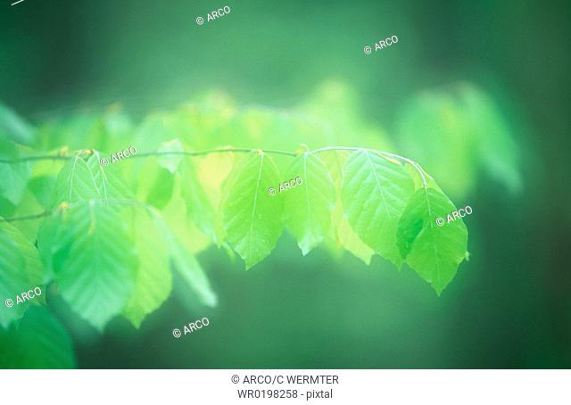 Beech, leaves, in, spring, national, park, Jasmund, Isle, of, Rugen, Mecklenburg-Western, Pommerania, Germany,Fagus, sylvatica