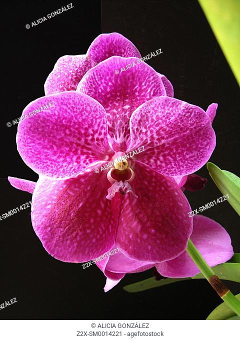 Vanda orchid, Caracas, Venezuela