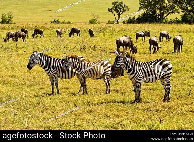 Zebra Gnu Herde