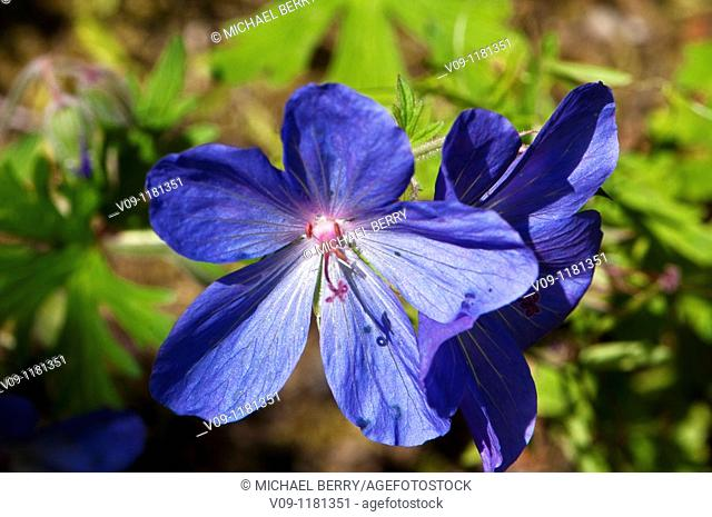 Cranesbill (Geranium sp.), Oregon, USA