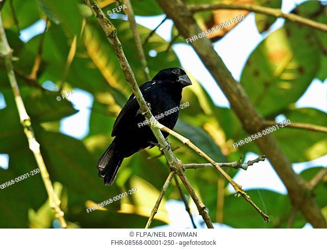 Thick-billed Seed-finch (Oryzoborus funereus funereus) adult male, perched on twig, Lancetetilla Botanical Gardens, Honduras, February
