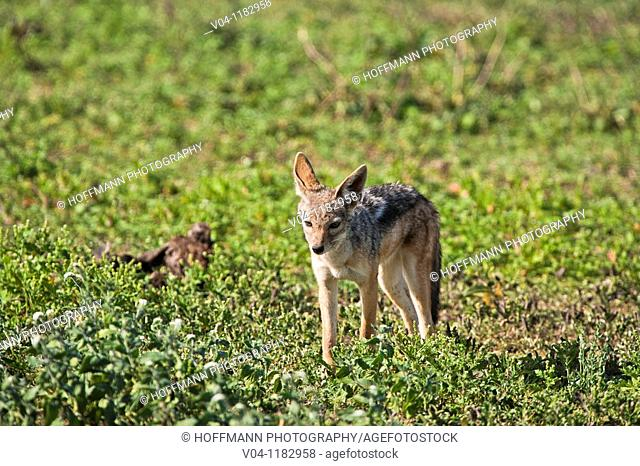 A black-backed jackal (Canis mesomelas) is walking in the Serengeti National Park in Tanzania, Africa
