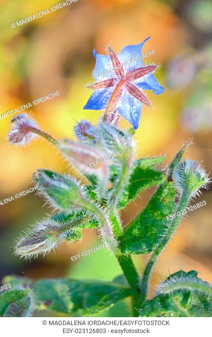 Starflower (Borago officinalis) blossom and dew drops