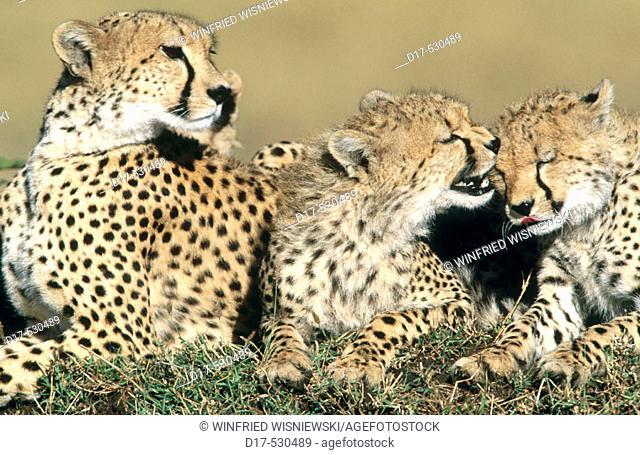 Cheetah (Acynonix jubatus) with two cubs. Masai Mara Natural Reserve. Kenya