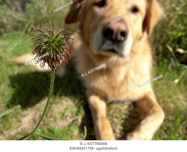 common avens, wood avens, clover-root (Geum urbanum), fruits with dog, Germany