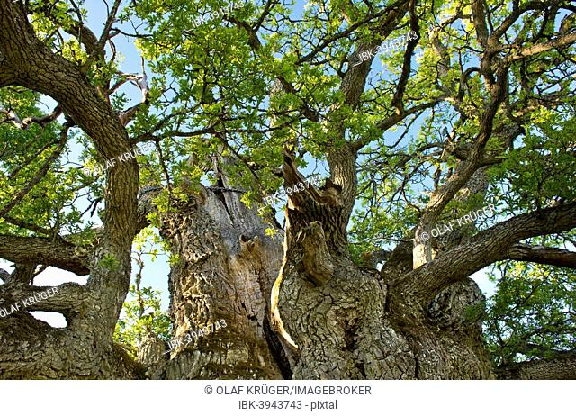 Rumskulla or Kvill Oak, the oldest oak tree in Sweden, over 1000 years, Rumskulla, Smaland, Sweden