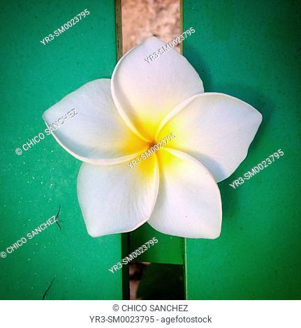 A five petals flower in a green chair in Merida, Yucatan, Mexico