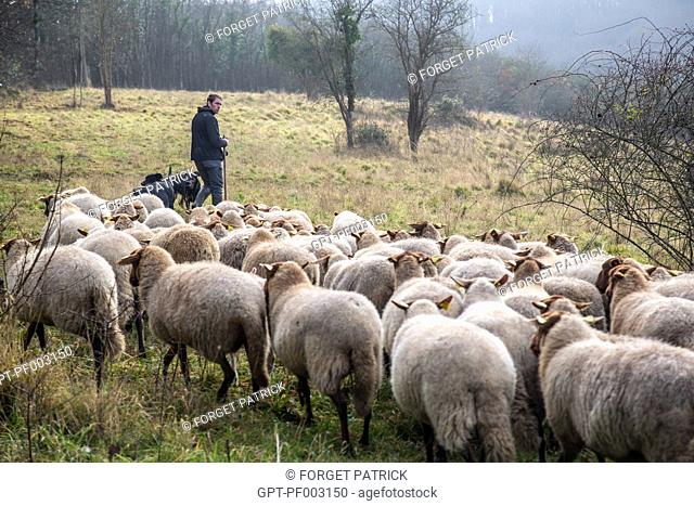 BENOIT VOISIN, TOWN SHEPHERD (CITY EMPLOYEE) WITH HIS HERD OF SOLOGNOT SHEEP (WOOL AND MEAT) FOR THE ECO-PASTORAL MANAGEMENT OF THE LIMESTONE HILLS LISTED WITH...