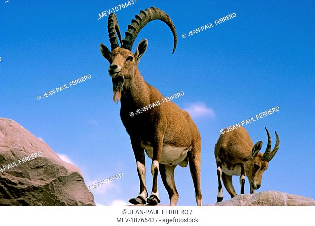 Nubian Ibex - Male (Capra hircus nubiana)
