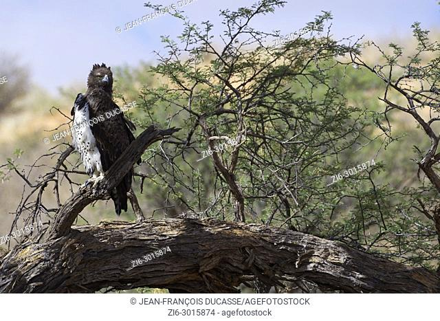 Martial eagle (Polemaetus bellicosus) sitting on perch, Kgalagadi Transfrontier Park, Northern Cape, South Africa, Africa