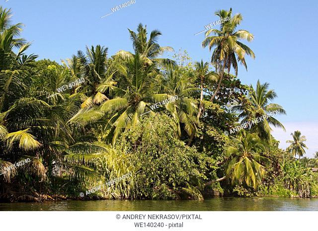 mangrove on Hikkaduwa lagoon river, Hikkaduwa, Sri Lanka, South Asia