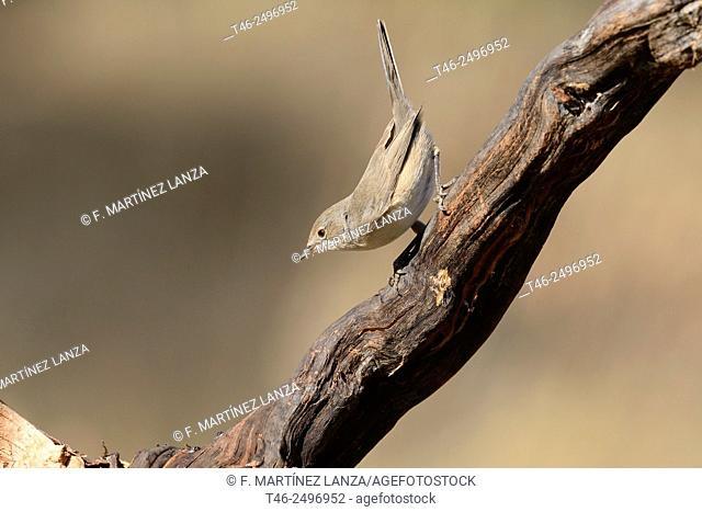 Whitethroat Sylvia communis. Photographed in an oak grove of Fresnedilla de la Oliva Madrid