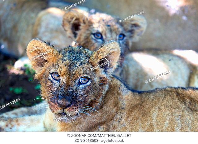 lion's cub at nakuru national park