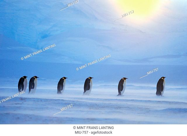 Emperor penguins in blizzard, Aptenodytes forsteri, Weddell sea, Antarctica