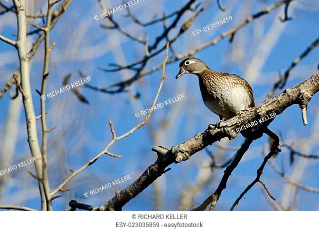 Female Wood Duck Perched in a Tree