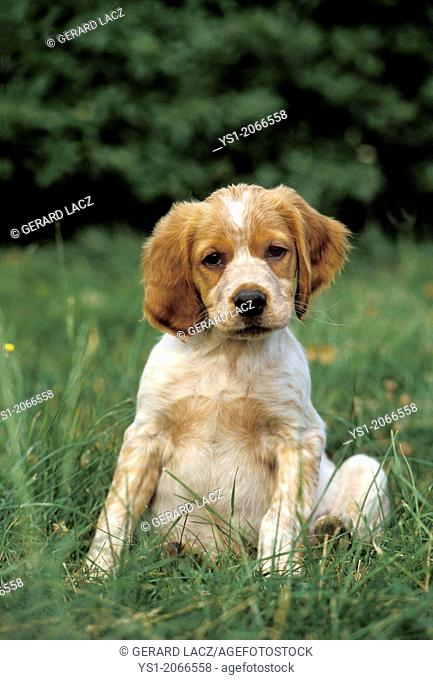 Brittany Spaniel Dog, Pup sitting on Grass