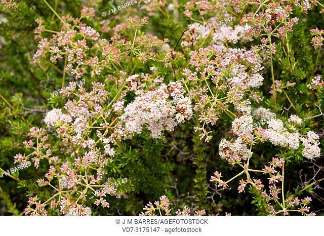 California buckwheat or Mojave buckwheat (Eriogon fasciculatum) is a shrub native to southwest USA and northwest Mexico