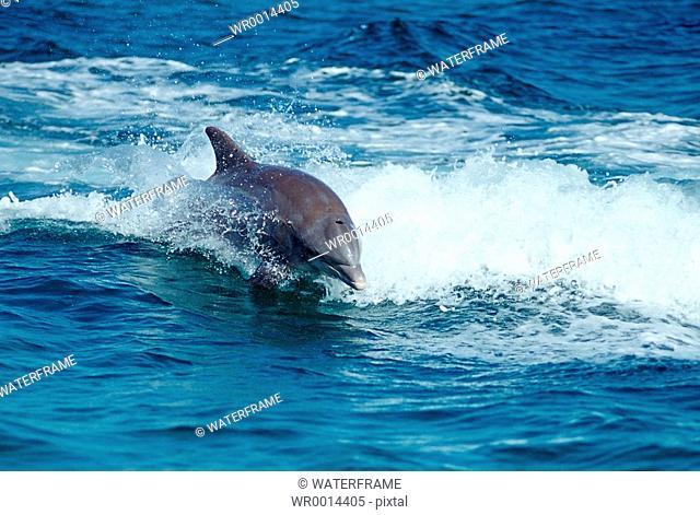 Bottlenose Dolphin, Tursiops truncatus, Caribbean Sea, Bahamas
