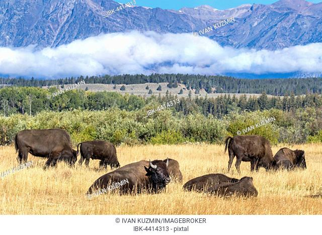 A herd of American Bisons (Bison bison) in the highland prairie, Grand Teton National Park, Wyoming, USA