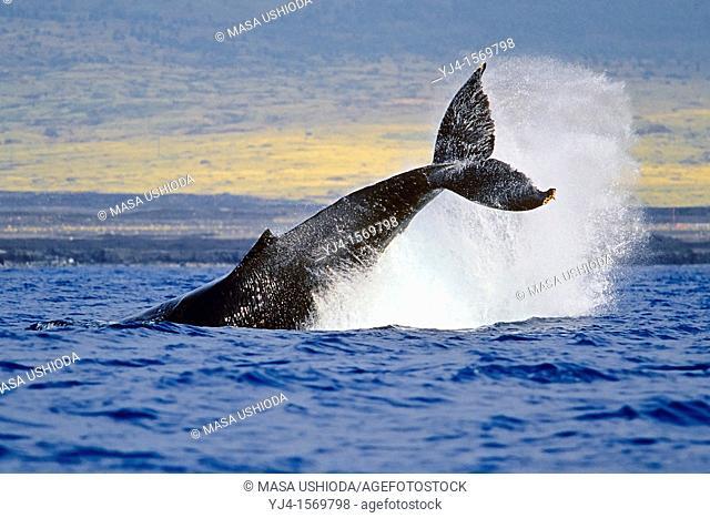 humpback whale, Megaptera novaeangliae, peduncle throw or tail breach, Hawaii, USA, Pacific Ocean
