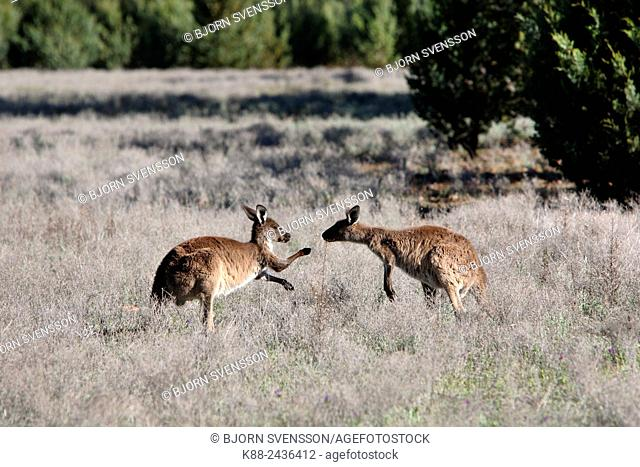 Kangaroos. Wilpena Pound, Flinders Ranges, South Australia