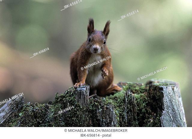 Eurasian Red Squirrel (Sciurus vulgaris), adult sitting on tree stump, portrait