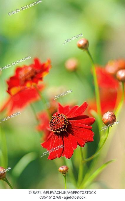 Red flower Coreopsis verticillata