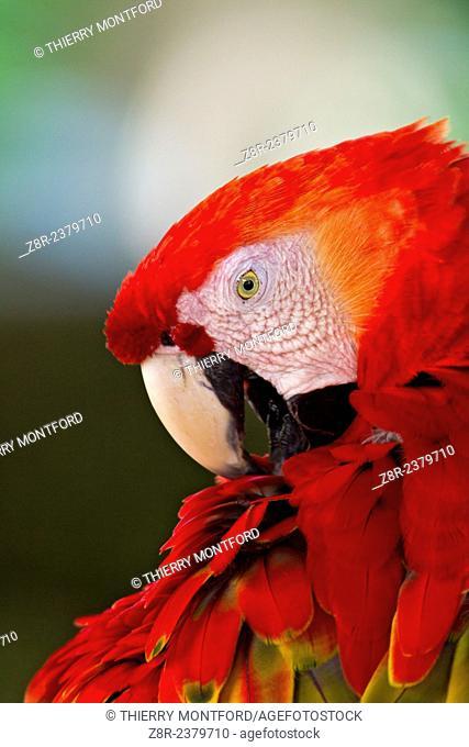 Ara macao. Red macaw. Portrait. French Guiana
