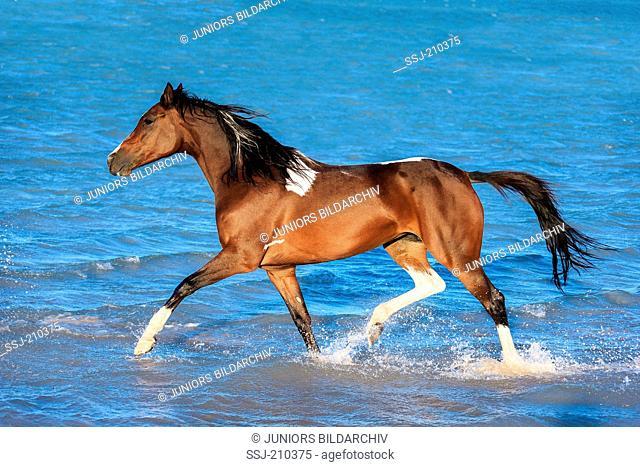 Pintabian. Skewbald mare trotting in shallow water. Egypt