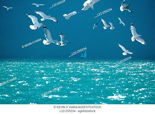 Gulls on the sea. île de Ré. Charente Maritime.(France)
