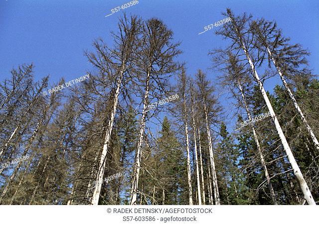 Ecology - dead spruce forest, Sumava Mountains, Czech Republic, Central Europe