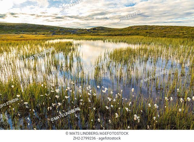 Cotton grass in front of little lake in mountain area, Gällivare, Swedish Lapland, Sweden
