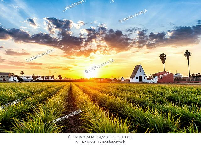 Sunset in a field of tiger nuts, near Alboraya. The Barraca is the typical house in this region near Valencia, Valencian Comunity, Spain
