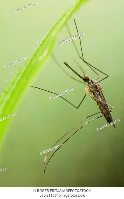 Resting female of the European autochtonous mosquito species Anopheles plumbeus