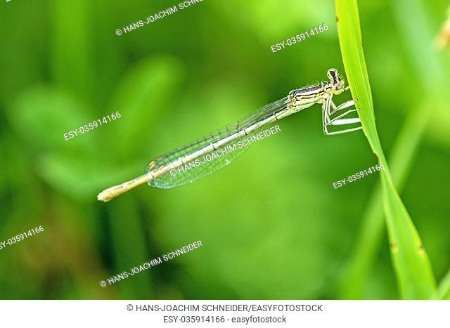 forktail damselfly sitting on grass near a pond in Germany