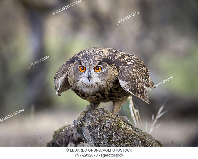 Eagle Owl (Bubo bubo) Sierra Morena, Cordoba, Andalusia, Spain