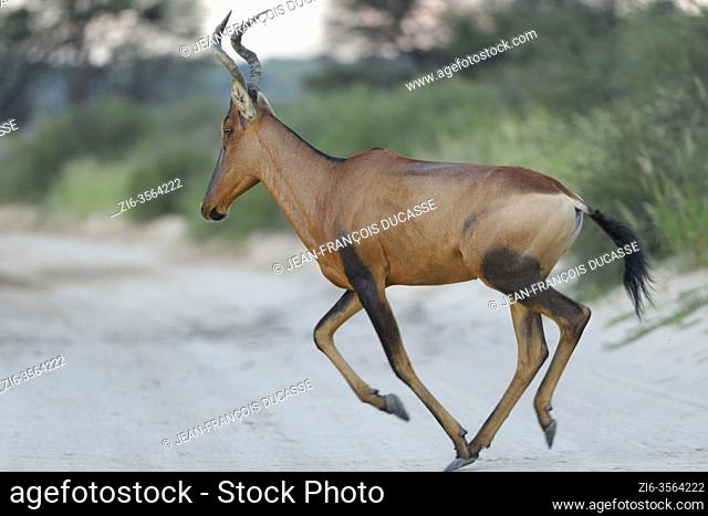 Red hartebeest (Alcelaphus buselaphus caama), adult, running across a dirt road, close of day, Kgalagadi Transfrontier Park, Northern Cape, South Africa, Africa